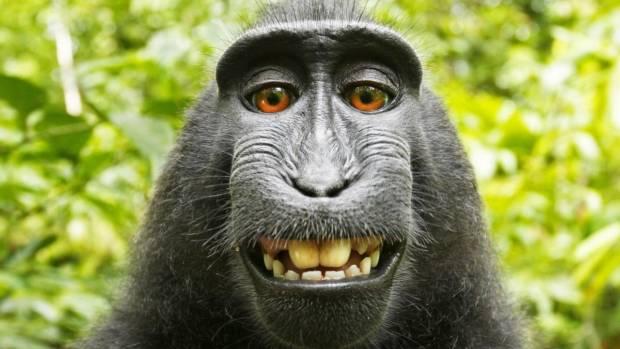 """Makake-Affe mahnt unzulässige Veröffentlichung seiner Fotos ab (""""Wir sind doch hier nicht im Urwald"""")"""