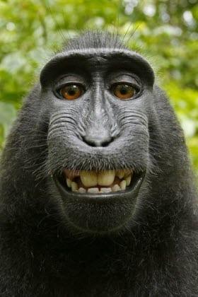 """Das """"affengeile"""" Selfie und das Urheberrecht"""