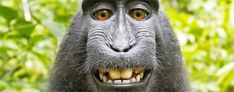 Affen-Selfie ruiniert Fotografen – Situation der Urheberschaft ist unklar