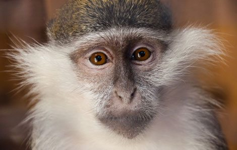 Streit um Affen-Selfies